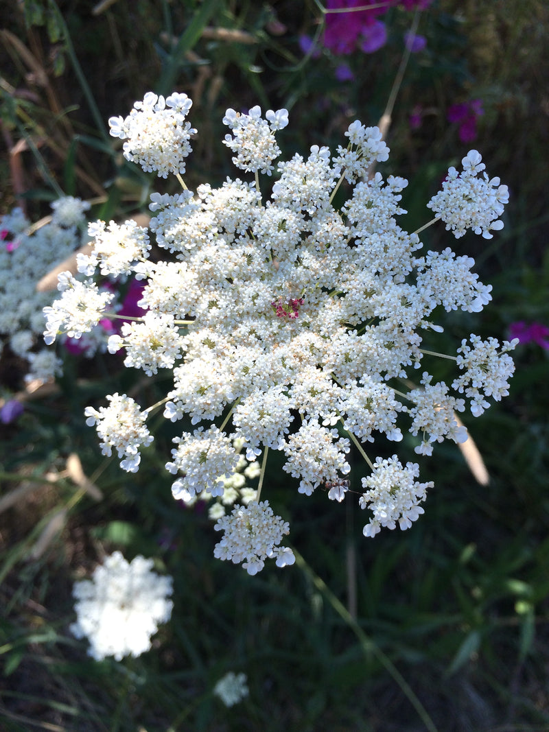 Queen Anne's Lace Tincture