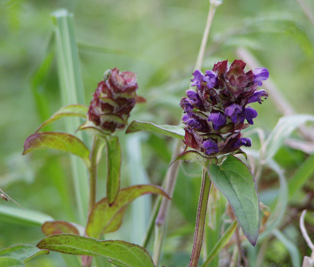 Image of Self Heal Tincture