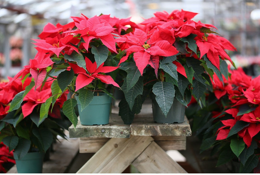 There are a few popular plants marketed around Christmas: learn how to care for the three most popular.