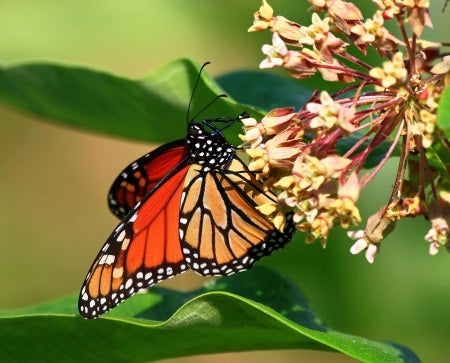Monarch and the Milkweed