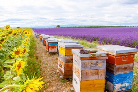 Bee hives on lavender and sunflower fields