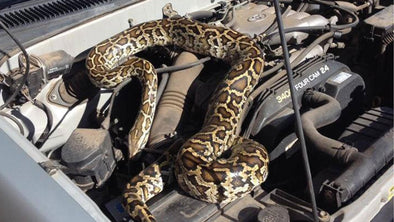 Zim Farmer Pries Huge Python From Bakkie
