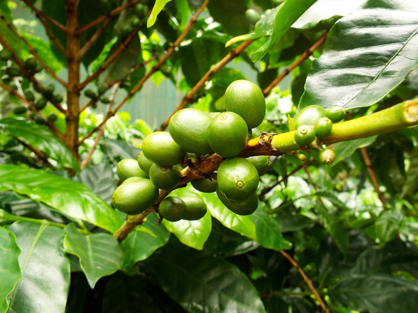 5 Reasons to Drink Pesticides Free , Fair Trade Coffee