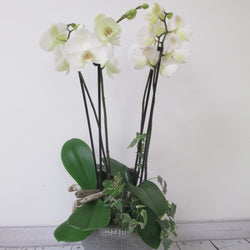 Orchid with Ivy