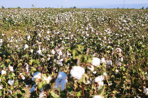 a cotton field near izmir