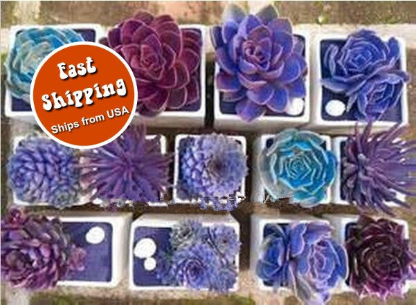Rare Beauty Succulents Seeds - Easy To Grow Potted Flower 200pcs/bag - Awesome Sauce Gifts