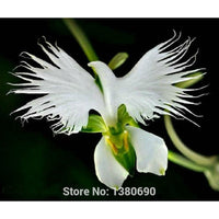 White Egret Orchid Seeds - Worlds Rare Orchid Species 100 seeds/pack - Awesome Sauce Gifts