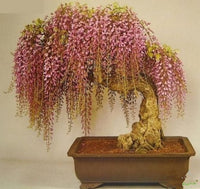 Wisteria seeds - Bonsai - potted plant seeds 10pcs/bag