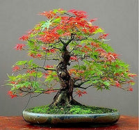 Maple Feathers seeds - Bonsai - potted plant seeds 30pcs/bag