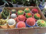 Celestial being seeds - Cactus - potted plant seeds 30pcs/bag