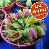 20 seeds/pk Venus Fly Trap seeds - Fast Shipping - Awesome Sauce Gifts
