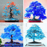 20 pcs china maple tree  Bonsai tree seeds. rare sky blue maple seed. Balcony plants - Awesome Sauce Gifts