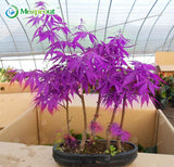 Purple Maple Seeds Rare in The World Is a Beautiful Purple Maple Bonsai Plants Trees 20pc/bag