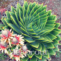 Rare Spiral ALOE Seeds Succulents Seed, MESA Aloe polyphylla rotation aloe vera queen seeds, 100pcs/bag