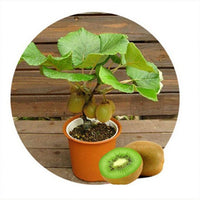 Mini Kiwi Fruit (40 Seeds) Bonsai Plants, Delicious Kiwi Small Fruit Trees Seed Easy to Grow