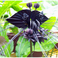 100pcs/bag Black Tiger Orchid Flowers Seeds Rare Flower Orchid Seeds For Garden & Home Plants Bonsai US - Awesome Sauce Gifts