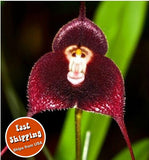 100pc/bag - Rare Monkey Face Orchid Seeds Orchis Simia Senior Phalaenopsis - Awesome Sauce Gifts