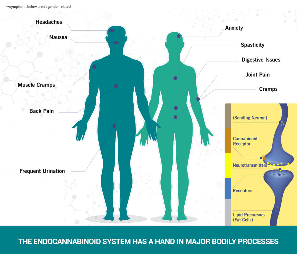 your endocannabinoid system