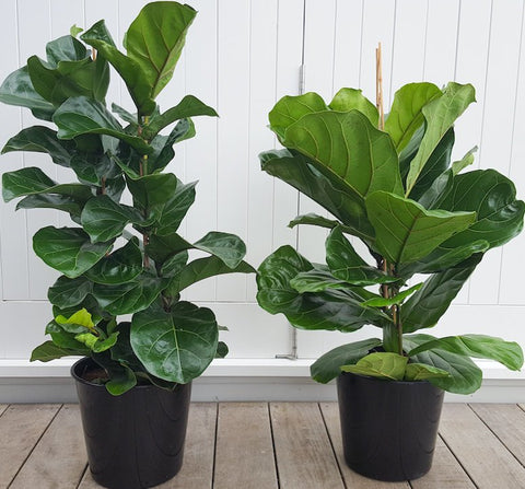 Plant and Pot Fiddle Leaf Fig 'Bambino'