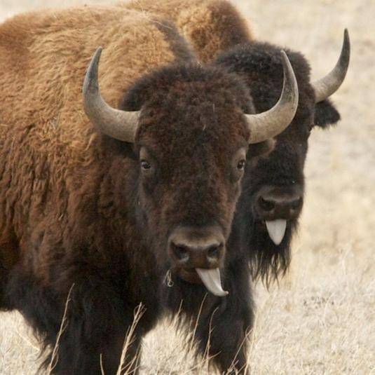 5 Crazy Facts about Bison