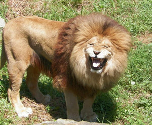 5 Crazy Facts About Lions
