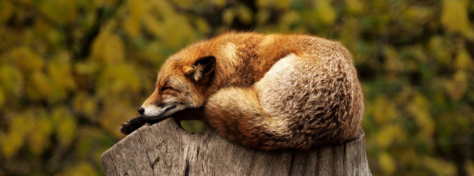 Living with a Fox