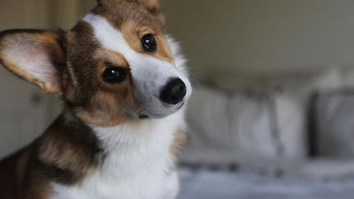 Why Does My Corgi Do That? Common Dog Behaviors Decoded