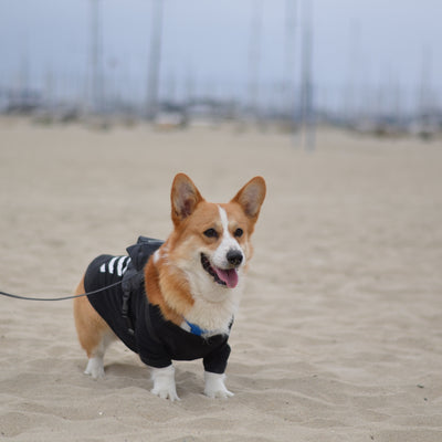 7 Hot Weather Tips to Keep Your Corgi Safe this Summer