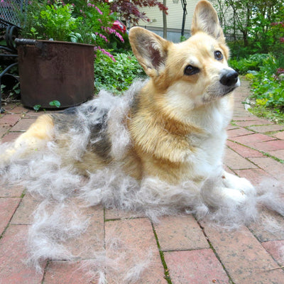 Tips to Keep Your Corgi's Shedding in Check