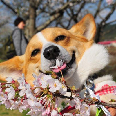 Ch-Ch-Ch-Changes: Small Tweaks to Help Your Corgi Adapt to Spring