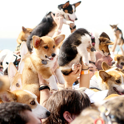 Make the Most of Corgi Huntington Beach Day with these Insider Tips