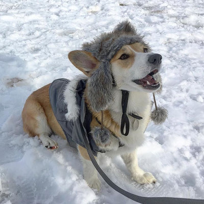Keeping Your Corgi Safe in Winter Weather