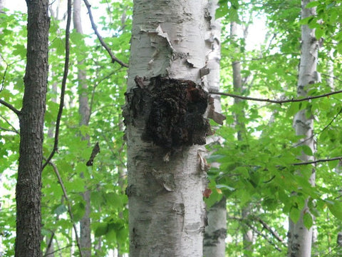 chaga mushroom mycelium immune sustainable