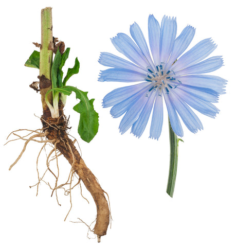 Chicory flower and root