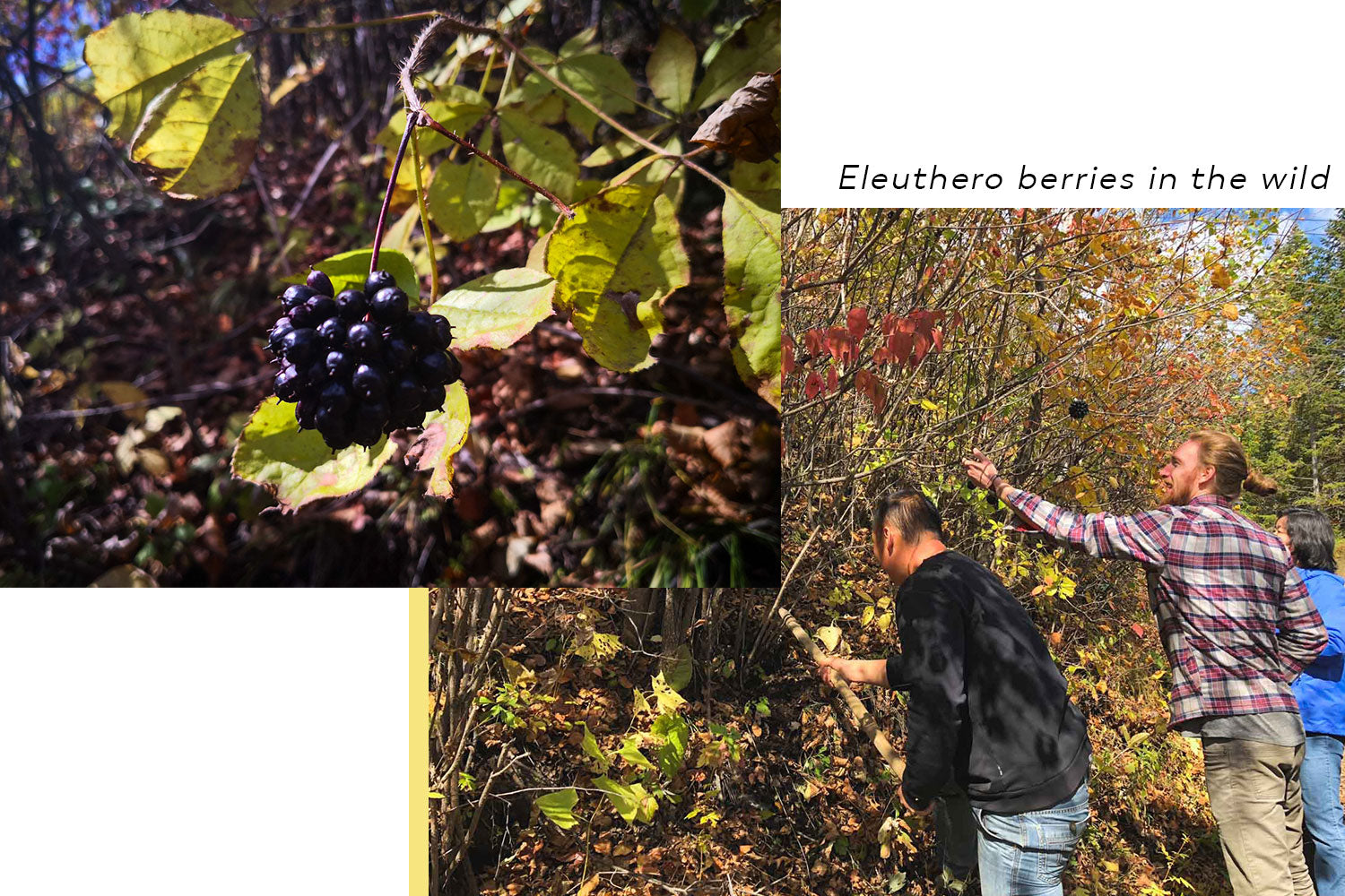 Eleuthera berries in China