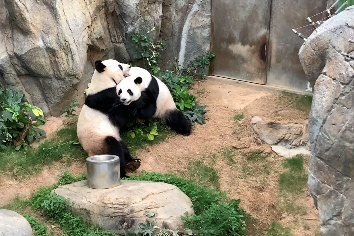 Giant Pandas Mate in Shuttered Zoo