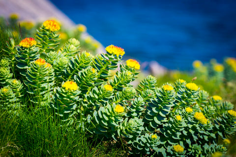 Rhodiola Rosea adaptogenic herb for endurance, mood, & stamina