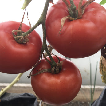 In the box this week Heermance Farm greenhouse grown tomatoes