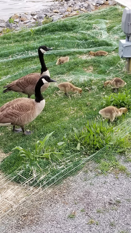goose family baby geese goslings