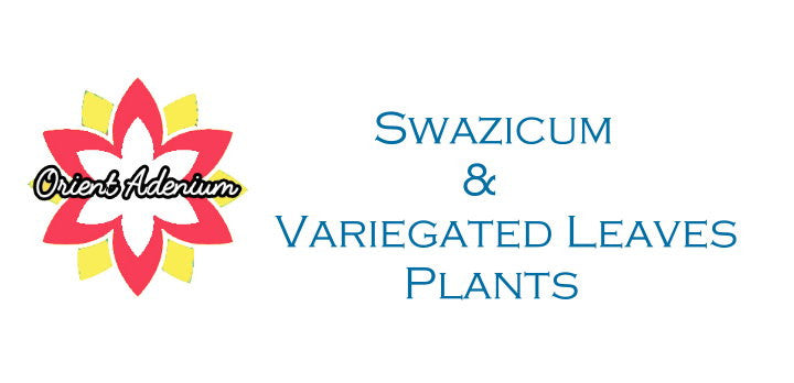 Swazicum & Variegated Leaves Plant Collection