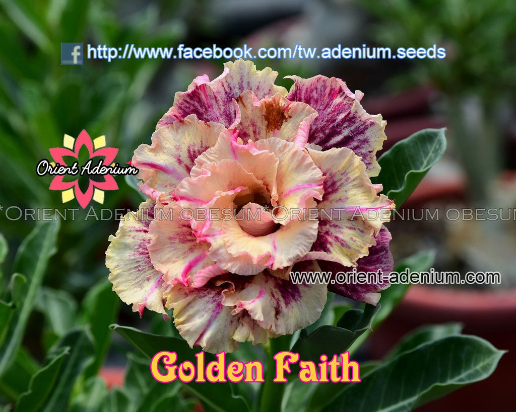 Adenium obesum Golden Faith seeds