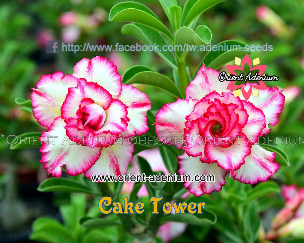 Adenium obesum Cake Tower Grafted plant