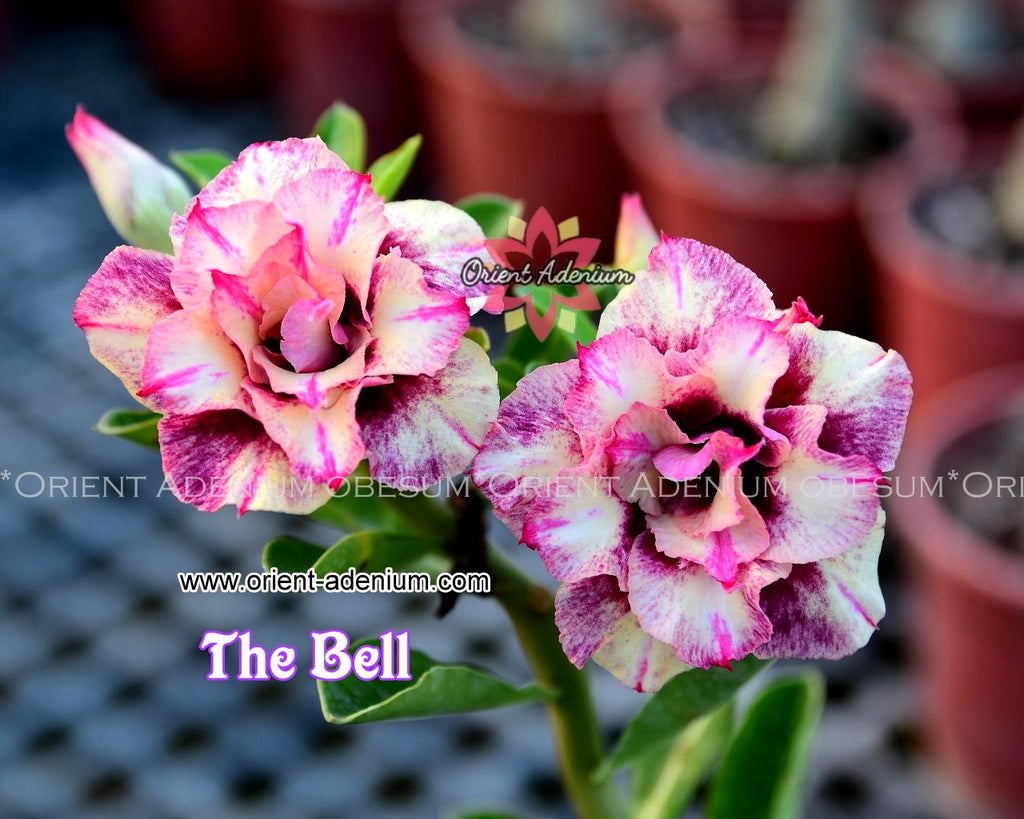 Adenium obesum The Bell Grafted plant