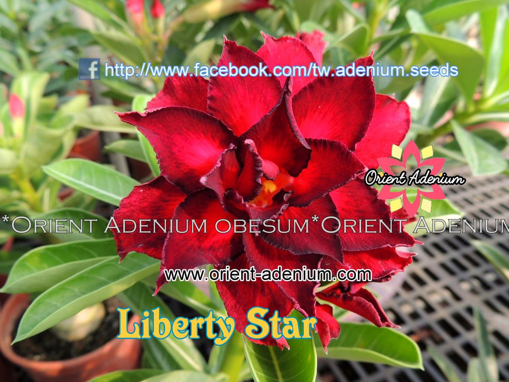 Adenium obesum Liberty Star Grafted plant