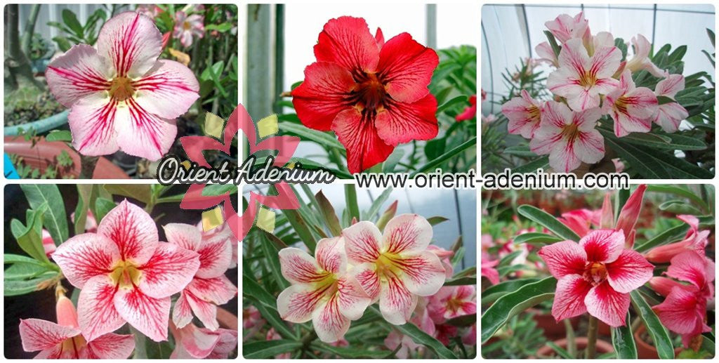 Adenium obesum Single-petals mixed Stripes seeds