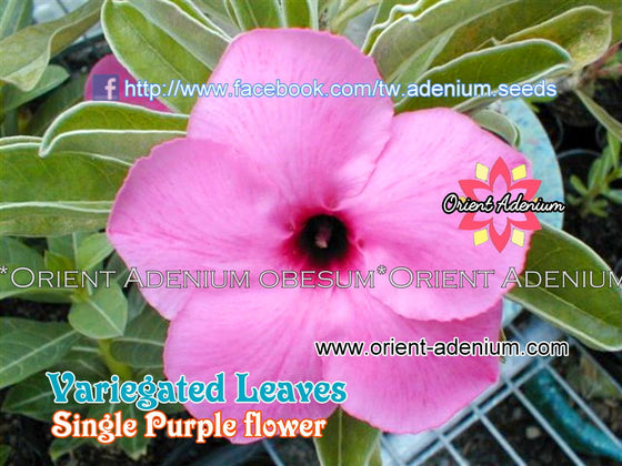 Adenium swazicum Variegated Leaves Single Purple
