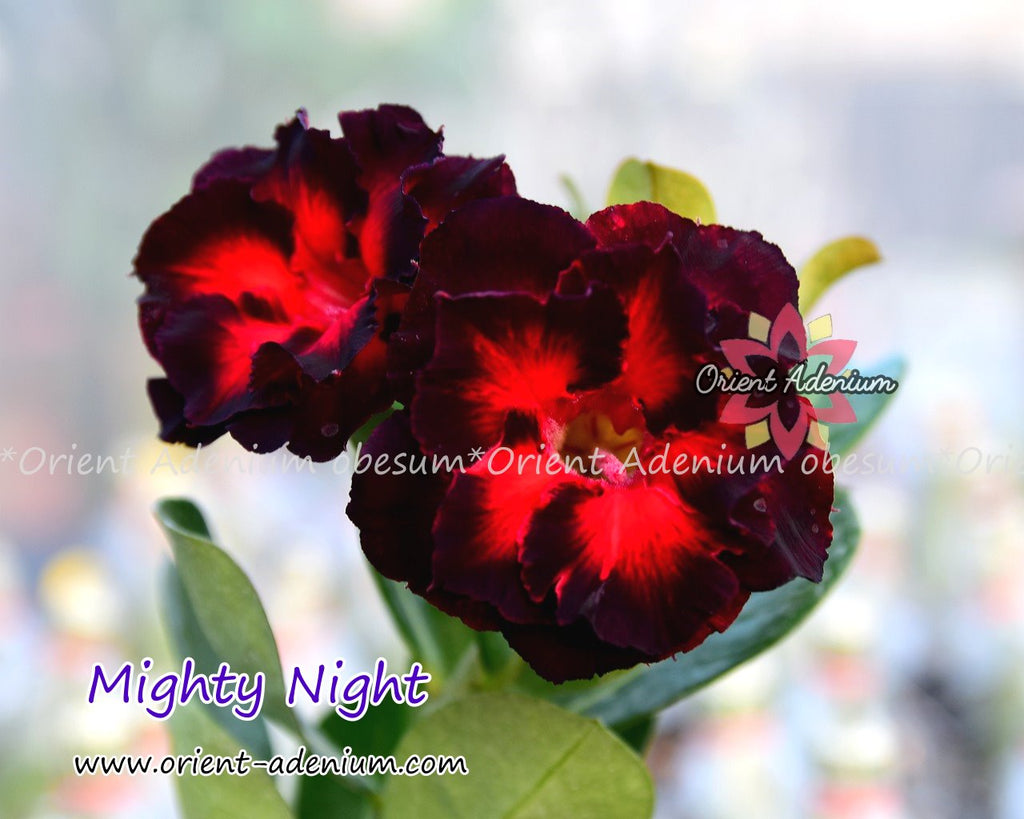 Adenium obesum Mighty Night Grafted plant