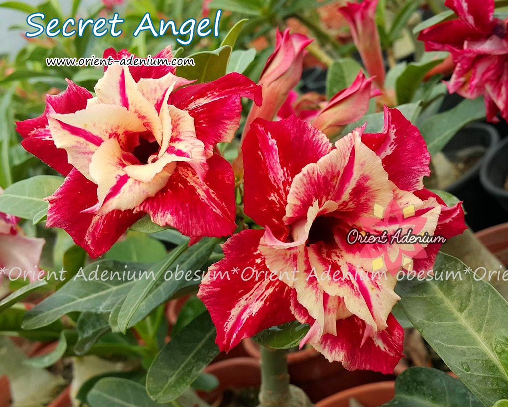 Adenium obesum Secret Angel seeds
