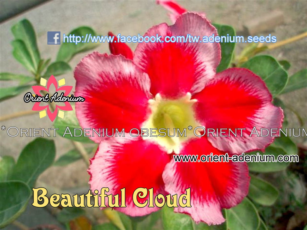 Adenium obesum Beautiful Cloud Grafted plant
