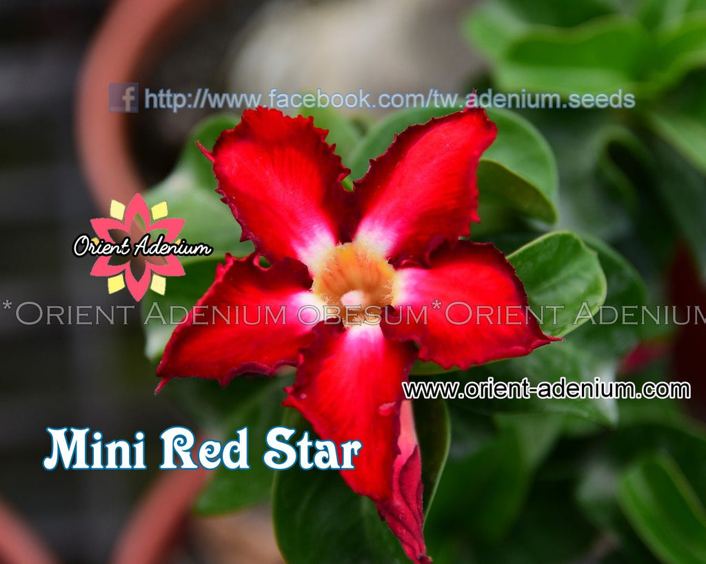 Adenium Mini Red Star Grafted Plant